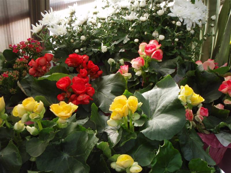 Rieger Begonias and White Chrysanthemeums