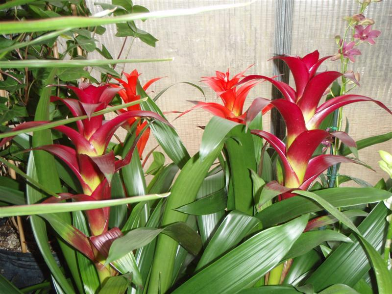 Bromeliads for Color