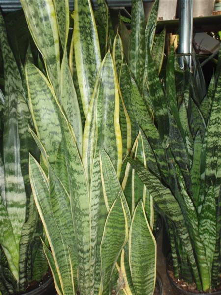 Tall and Lean Varieties of Sanseveria -Snake Plants