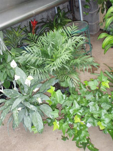 Neanthe Bella Palm and Spathiphyllum Domino