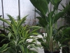 l. Dracaena Lemon Lime-2-3\'tall , r. White Bird of Paradise 4\'tall